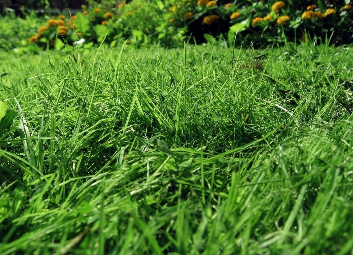 Chwasty na trawnikach